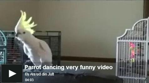 parrot-dancing-
