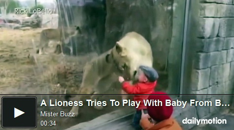 lioness-tries-to-play-with-baby-