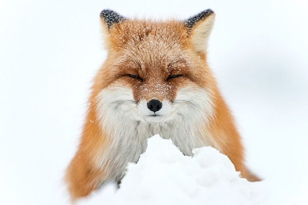 fox-photography-by-ivan-kislov- (2)