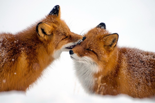 fox-photography-by-ivan-kislov- (3)