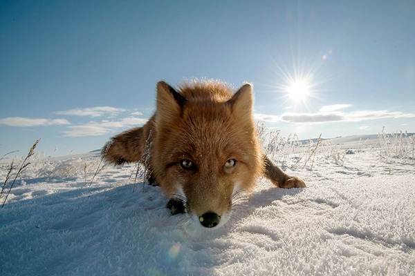 fox-photography-by-ivan-kislov- (4)