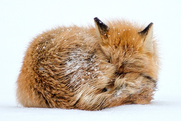 fox-photography-by-ivan-kislov- (7)