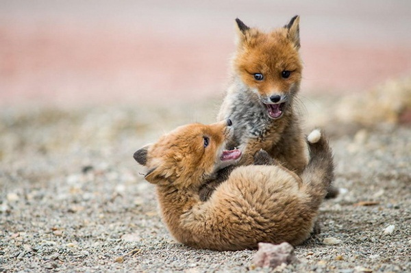 fox-photography-by-ivan-kislov- (8)