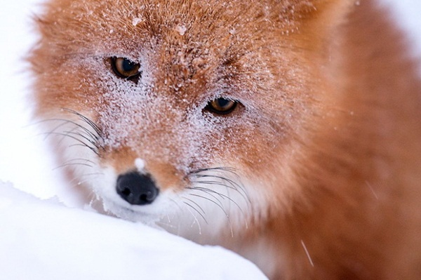 fox-photography-by-ivan-kislov- (9)
