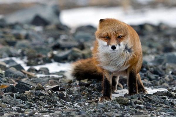 fox-photography-by-ivan-kislov- (11)