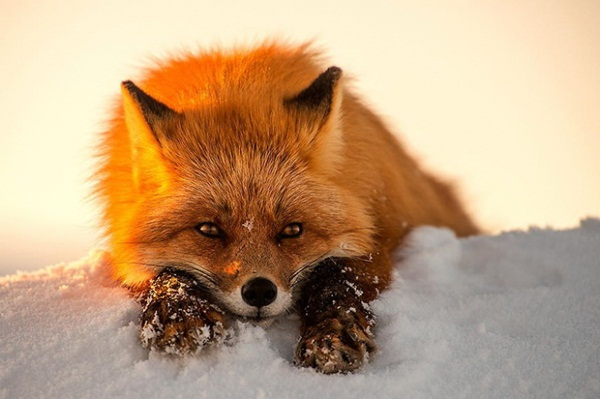 fox-photography-by-ivan-kislov- (13)