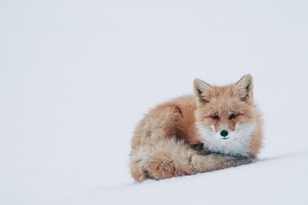 fox-photography-by-ivan-kislov- (14)