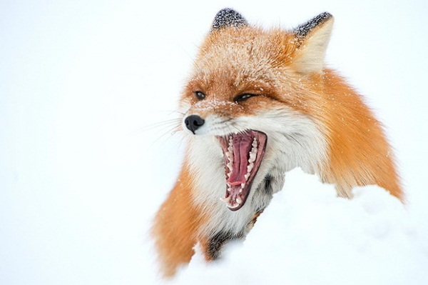 fox-photography-by-ivan-kislov- (15)