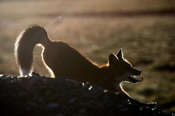 fox-photography-by-ivan-kislov- (20)