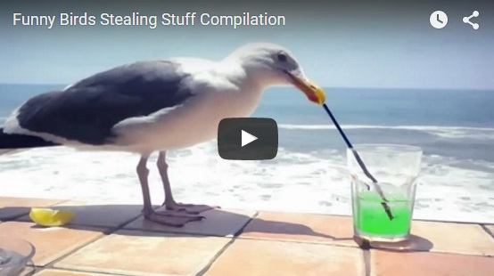 funny-birds-stealing-stuff-video-