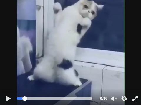dancing-cat-